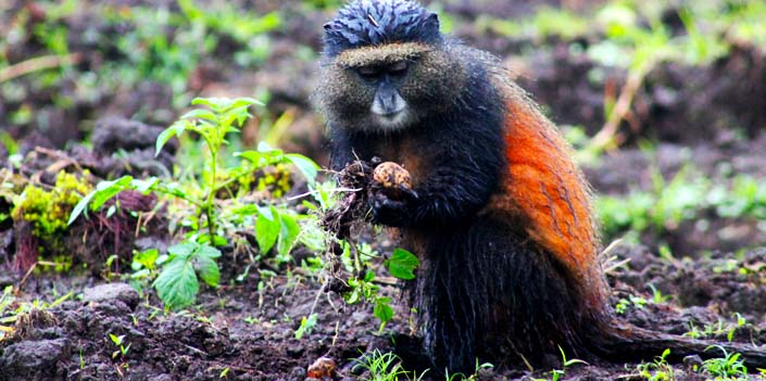 2 days golden monkey tracking tour in the volcanoes national park