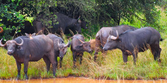Buffaloes in the Akagera National park