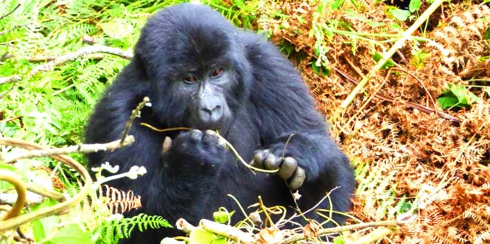 Gorilla tracking in the Volcanoes National park